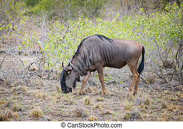 Wildebeest grazing in Kruger National Park, South Africa.