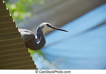 White-faced Heron Perch - profile of white-faced heron or...