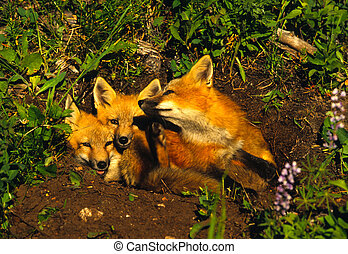 Red Fox Pups - three red fox pups at den