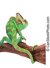 Veiled chameleon (chamaeleo calyptratus) close-up. - Veiled...