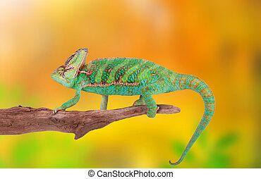 Veiled chameleon (chamaeleo calyptratus) close-up. - Veiled...