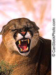 Snarling Mountain Lion - an agiatated mountain lion snarling...