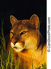 Mountain Lion Portrait - a close up portrait of a mountain...
