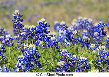 Bluebonnets - A photo of some bluebonnets in a field.