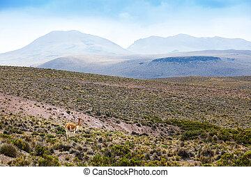 vicuna in highlands of Peru - beautiful vicuna in the...