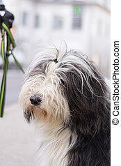 Big long-haired dog - Bearded Collie - family friendly big...