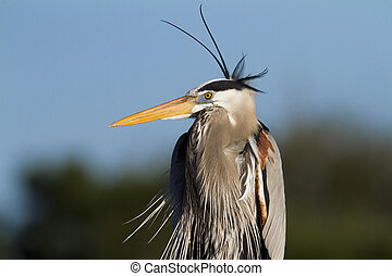 Great Blue Heron Portrait - A fancy looking Great Blue Heron...
