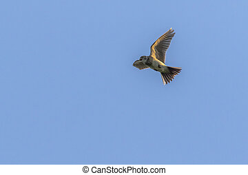 Common skylark (Alauda arvensis) - A common skylark in the...