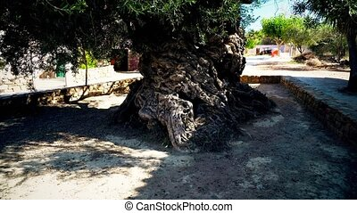 3000 years old olive tree at Crete