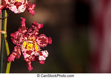 Pink spotted Cattleya orchid flower morph with two stamens...