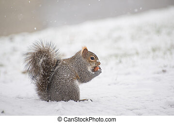 Squirrel eating a nut in winter time