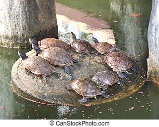 Red-eared slider tortoise - group of Red-eared slider in...