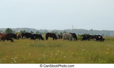 A herd of cattle on the meadow - A herd of cattle eating...