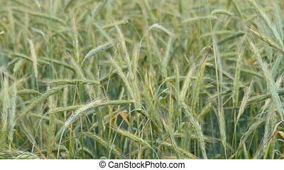 Green wheat ears swinging in the wind