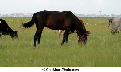 Horses and cattle grazing on meadow - Horses and cattle...