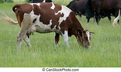 Cattle on the pasture - Herd of cattle on the pasture. Focus...