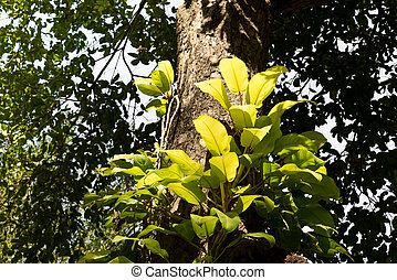 Parasitic plants - Tropical trees with parasitic plants...