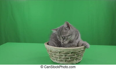 Beautiful little kitten Scottish Fold in basket on Green Screen.