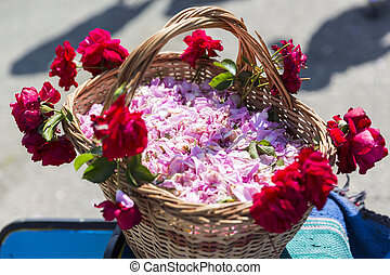 Pink rose blossom in basket during the rose picking season...