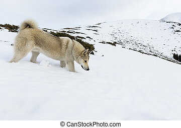 Husky in the mountain - A white husky is playing in the snow...