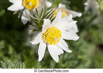 White spring easter flowers (Pulsatilla patens) in the...