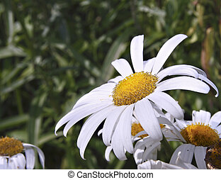 Close up of an ox eye daisy