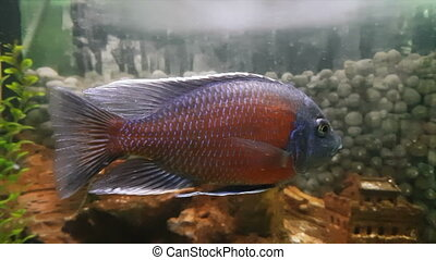 Cichlids are fish from the family Cichlidae - Cichlids in...