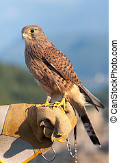 Common Kestrel (Falco tinnunculus) perched on falconer's...