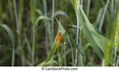 Dragonfly in wheat field