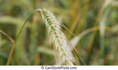 Green wheat ears waving in the wind - Close-up shot of...