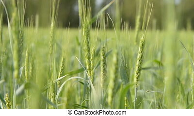Wheat field on sunny day - Close-up shot of green wheat ears...