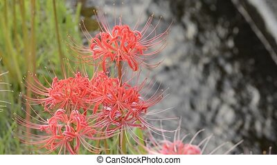Red spider lily flowers in front of agricultural waterway
