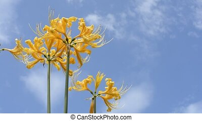 Golden spider lily flowers - Bright golden spider lily...