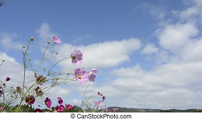 Cosmos flower and clouds - Pink cosmos flower under sky with...