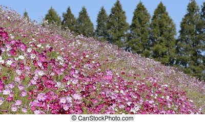 Pink cosmos flower field in front of lined conifer trees