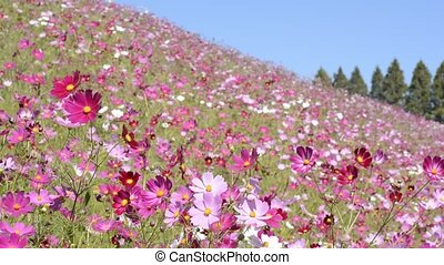 Pink cosmos flower field - Close up pink cosmos flower field...