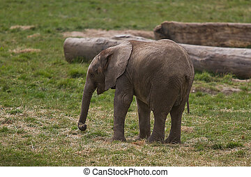 young African Elephant - photo of a young African elephant