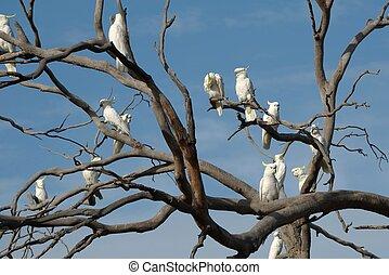 Cockatoos on a tree - Cockatoos on a bare tree,...