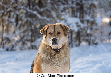 big ginger dog with collar on the winter forest background