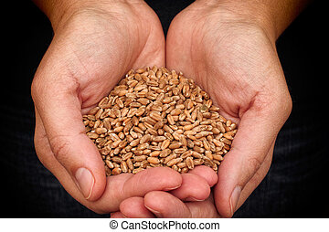 Whole wheat grain kernels in woman hands