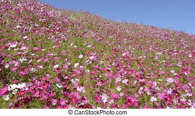 Pink cosmos flower field under blue sky