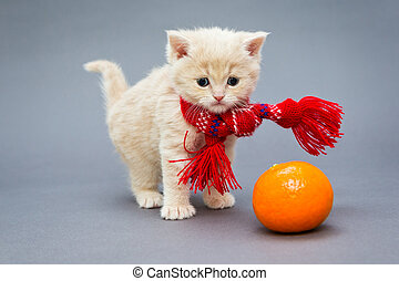 Kitten British breed with a scarf - Little kitten British...