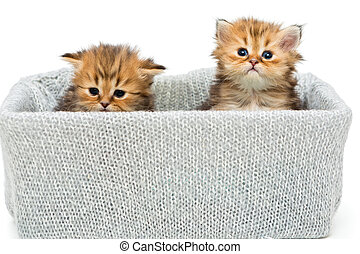 Two small British kitten in a knitted box, isolated on white