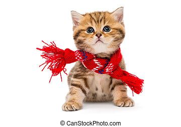 Little kitten British marble in a red scarf, isolated on...