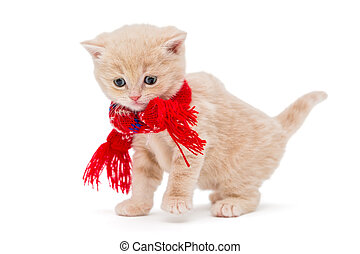 Kitten breeds British in a red scarf - Little kitten British...