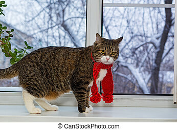 Cat in a red scarf sits on the windowsill - Gray domestic...