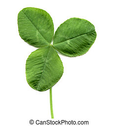Shamrock three leafed old white clover trifolium plant -...