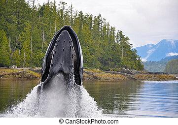 Feeding Humpback - Breaching Whale