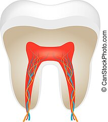 cross section of tooth - A vector illustration of cross...