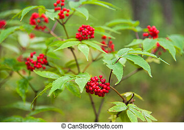 Red elderberry (Sambucus racemosa) berries - Ripe red...
